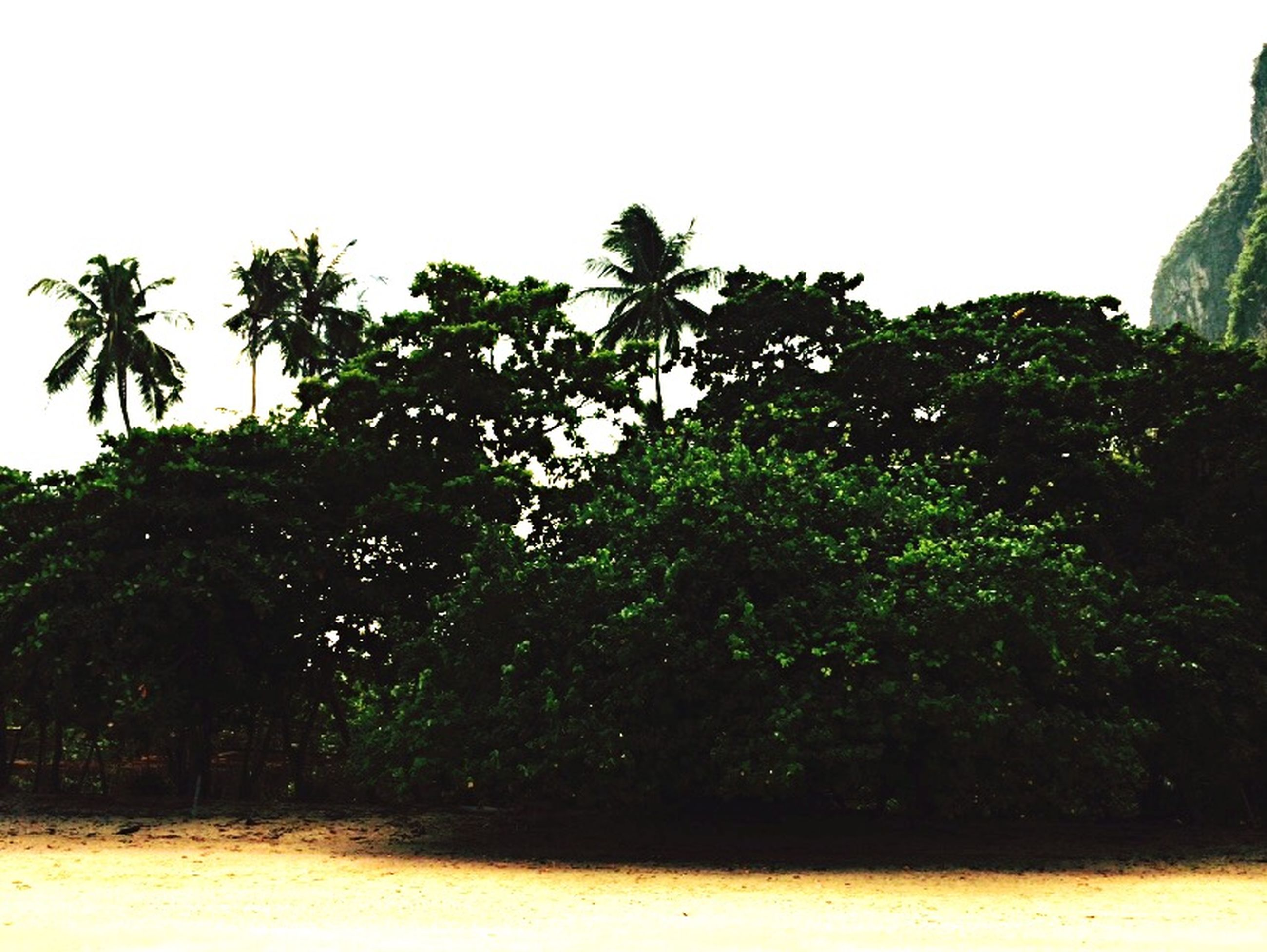 tree, clear sky, growth, green color, copy space, low angle view, nature, plant, palm tree, tranquility, leaf, green, lush foliage, beauty in nature, growing, day, outdoors, sky, no people, branch