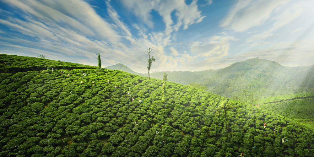 Felt with the Heart Agriculture Rural Scene Nature Growth Field Landscape Crop  Tree Freshness Beauty In Nature Outdoors No People Day Green Color Tea Crop Scenics Sunlight Summer Sky Idukki Kerala Tea Estate EyeEmNewHere The Great Outdoors - 2017 EyeEm Awards Been There. Crafted Beauty