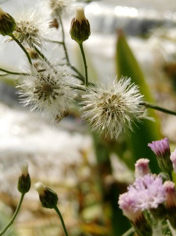 Dandelion Flower Nature Plant Growth Focus On Foreground Close-up Beauty In Nature