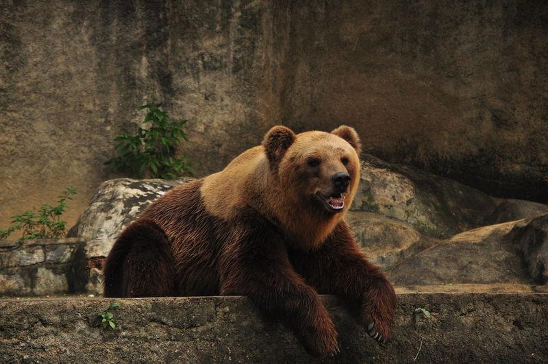 Bear sitting at zoo