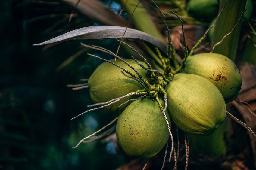 Tropical shot of the green coconuts growing on the coconut tree. Green tropical coconut palm tree with green fresh coconuts. Agriculture Coastline Coconut Green Growth Holiday Natural Natural Beauty Nature Palm Tree Travel Backgrounds Branch Coast Coconut Palm Tree Food Fruit High Angle View Jungle Leaf Nut Outdoors Photo Sunshine Tropical