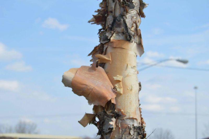 Tree Bark Tree