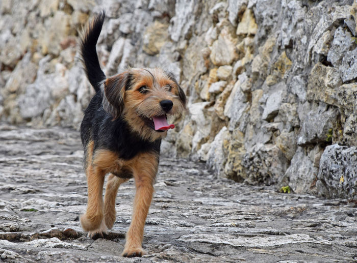 Cute dog over the stone paved road and wall Animal Animal Themes Black Brown Built Structure Cute Day Dog Doggy Domestic Animals Friend Looking At Camera Low Angle View Mouth Open No People One Animal Outdoors Paved Road Personal Perspective Pets Running Small Stone Tongue Out Walking