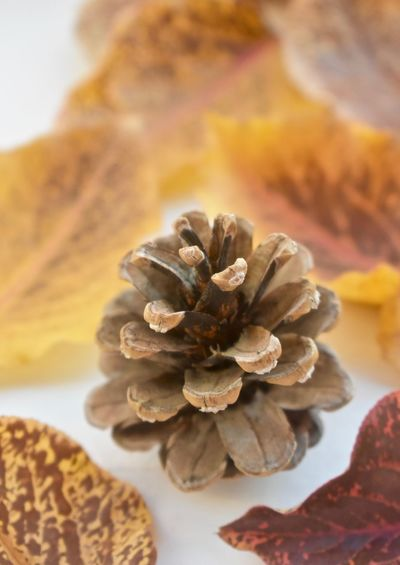Pinecone and leaves Autumn Collection Autumn Colors Autumn Leaves Fall Colors Leafs Pinecones Simple Things In Life White Wood Background For Texture Copy Spec Concept Beautiful Holiday Thanksgiving Arrangements Beauty In Nature Close-up Conifers Focus On Foreground Holiday Decor Leaf Leaves And Pinecone Leaves And Pinecones Natural Decorations Nature Design One Pincone Season Seasonal Concepts And Ideas Seasonal Collections Seasons Simple Holiday Season Photos