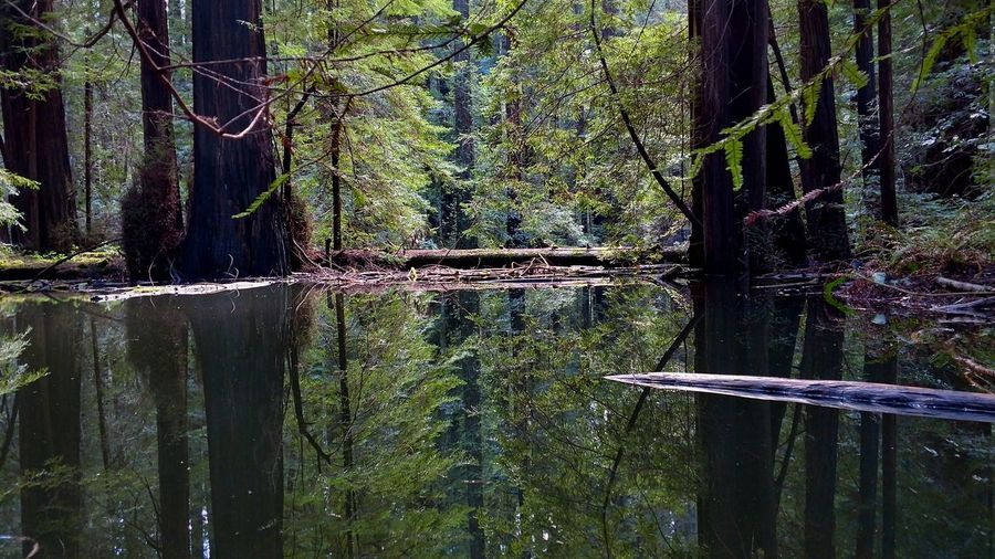 California Dreamin Reflection_collection EyeEm Best Shots EyeEm Nature Lover EyeEmNewHere Eye4photography  EyeEm Gallery EyeEmBestPics Landscape Avenue Of The Giants Redwoods California Humboldt County Lobuephotos Tree_collection  Motorola Motozforce Lookwhatmyphonecando Nofilterneeded Symetry Moody Reflection Nature Mothernature Beauty In Nature Symmetrical Symmetryporn Tree Close-up Green Color