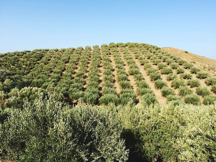 Olive trees growing on mountains against clear sky