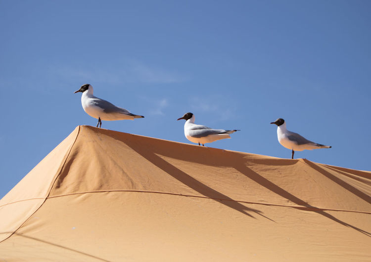 Low angle view of black headed gulls perching on roof against sky