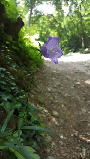 Fruška Gora Forrest Forrest Trail Trail Flower Purple Flower Contrast