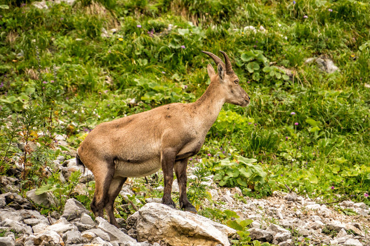 Alpine ibex Alpine Ibex Capra Ibex Steinbock Ibex Animal Animal Themes Animal Wildlife Animals In The Wild Mammal Plant One Animal Vertebrate Side View Nature Standing No People Day Deer Land Domestic Animals Full Length Rock Solid Forest Outdoors Herbivorous
