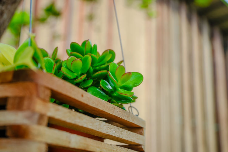Close-up of green leaves on potted plant