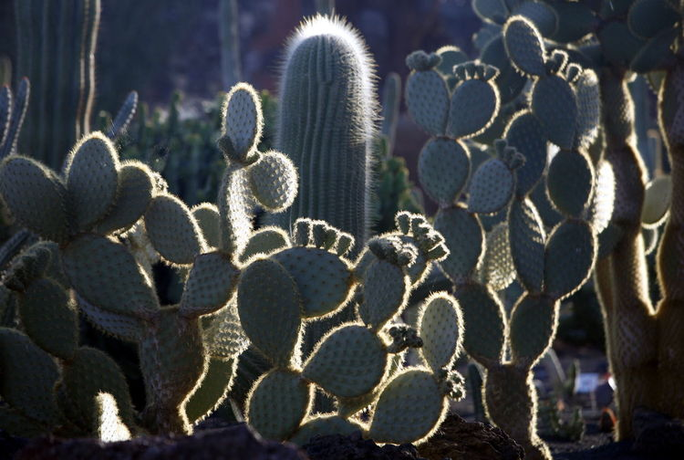 Close-Up Of Cactuses Growing On Field