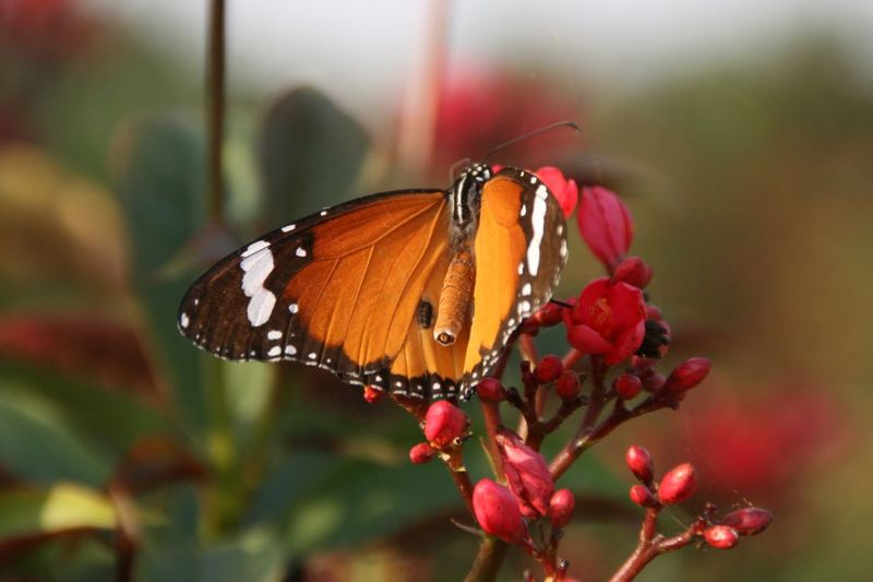 Butterfly at the site of the black Taj in Agra Butterfly Orange Butterfly Garden Photography Garden Flowers Garden Red Flowers Nature Insect Insects  Black Taj Gardens New Natural Light Showcase July