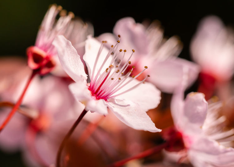 winter cherry in beautiful colors Blossom EyeEm Nature Lover Vulnerability  Springtime Outdoors Softness Cherry Blossom No People Nature Inflorescence Pink Color Freshness Flower Head Fragility Growth Close-up Beauty In Nature Flower Botany