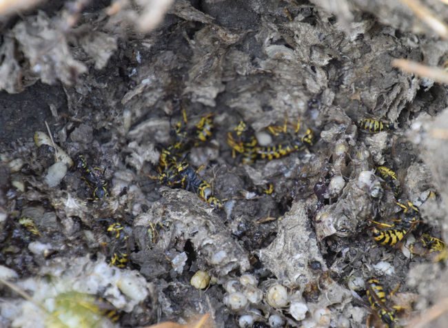 Vespula vulgaris. Destroyed hornet's nest. Drawn on the surface of a honeycomb hornet's nest. Larvae and pupae of wasps. vespula, vulgaris, wasp, mink, nest, fly, destroyed, gutted, killed, collapsed, dead, dismantled, pulled, larvae, pupae, death, excavated, sting, predator, forager, insect, striped, hymenoptera, animals, colony, insects, macro, nature, poisonous, summer, stinger, antenna, filigree, stinging, bee, hexagon, hornet, bug, wasps, chew, wing, fragility, common, pollen, laying, wood, paper, honey, arthropoda, vespiary Backgrounds Close-up Day Full Frame Nature No People Outdoors Rock - Object Textured  Vespula Vespula, Vulgaris, Wasp, Mink, Nest, Fly, Destroyed, Gutted, Killed, Collapsed, Dead, Dismantled, Pulled, Larvae, Pupae, Death, Excavated, Sting, Predator, Forager, Insect, Striped, Hymenoptera, Animals, Colony, Insects, Macro, Nature, Poisonous, Summer,  Vulgaris Wasp