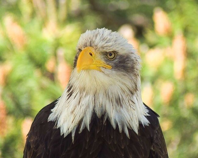 Bird Of Prey Bird Bald Eagle Eagle - Bird Focus On Foreground Animals In The Wild Animal Themes Beak One Animal Seeadler Animal Wildlife Day Nature Portrait Looking At Camera No People Outdoors Sea Eagle Birds Of EyeEm