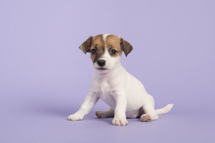 Cute sitting jack russel terrier puppy looking at the camera on a purple background Jack Russell Jack Russell Terrier Looking At Camera Animal Animal Themes Cute Dog Domestic Animals Jack Russel Terrier Puppy Looking At Camera One Animal Pets Puppy Purple Purple Background Sitting Studio Shot Young Animal