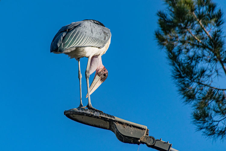 Marabou stork, leptoptilos crumenifer, standing on a street light