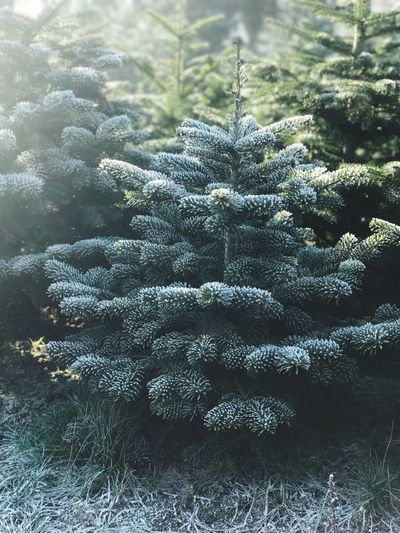 Nature Tree Green Color Growth Winter Fir Tree Beauty In Nature Plant No People Close-up Cold Temperature Branch Christmas Tree Christmas Snow Needle - Plant Part Outdoors Day Winter Pain Tree