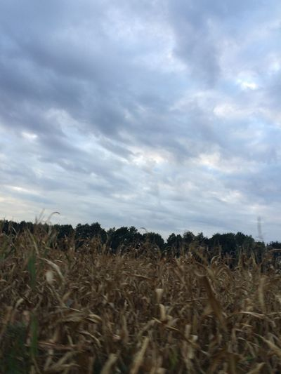 I was riding my bike when I took this picture :) Clouds Sky Corn Nature