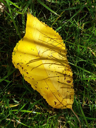 light & shadow in autumn Light Shadow Cherry Leaf Yellow Grass Yellow Leaf Autumn Change Field High Angle View Close-up Grass Leaf Vein Fallen Falling Leaves Dried Yellow Color Fall