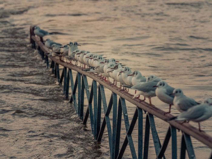 Seagulls perching on groyne in sea during sunset