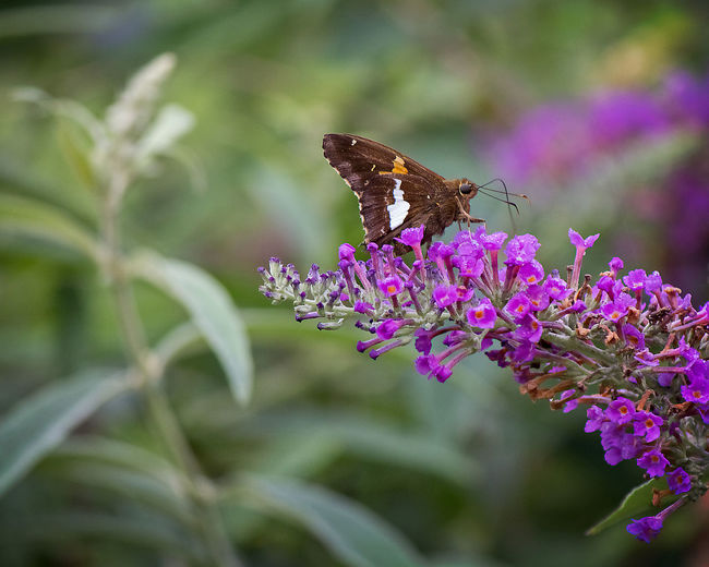 Moth on Flower Flower Flowering Plant Animal Themes Animal Plant One Animal Insect Beauty In Nature Petal Flower Head Close-up Pollination Purple Animal Wing Butterfly - Insect Butterfly Moth