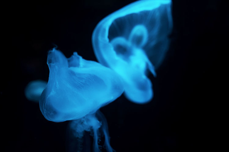 Aquatic Bizarre Animal Themes Animal Wildlife Aquarium Beauty In Nature Black Background Blue Close-up Fish Tank Fragility Glowing Illuminated Indoors  Jellyfish Moon Jellyfish Motion No People Sea Sea Life Swimming Tentacle UnderSea Underwater Water