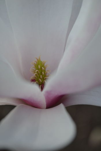 Close-up Closeup Flower Close—up Day Flower Macro Magnolia Magnolia Blossom Nature One Person Outdoors People Pink Pink Flower