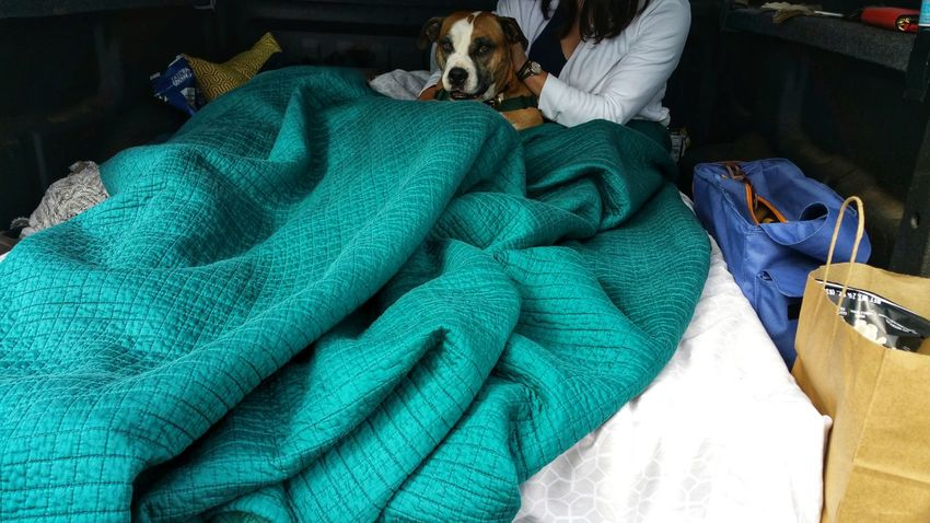 Warming up a spoiled doggie in the back of a pickup truck at the beach. Dog Patch Brown White Bulldog Tourquise Blanket Cold Warming Loved Pet Woman Snuggle Hug Togetherness Bags Supplies Day Trip Loving Caring Pals Friends Buddies Textile Close-up Green Color Fabric Cloth