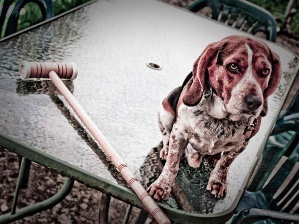 Chester Dog Croquet Pets Dog Water Portrait Beagle Pet Collar Pet Leash Puppy Pampered Pets