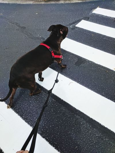 High angle view of black dog standing on road