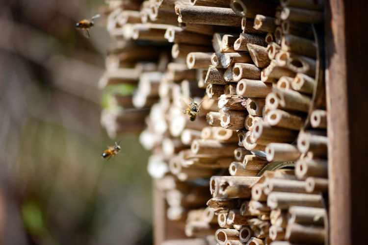 wild bees sitting on nest sticks of of insect shelter. solitary bee Osmia bicornis. Box Insect Box Insect Hotel Insect Protection Insektenhotel Nature Osmia Cornuta Bee Biene Insect Insect Nest Insect Shelter Nest Osmia Bicornis Protection Solitary Bee Wild Bee Wooden