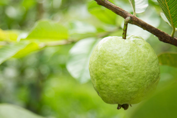 Close-up of guava hanging on tree
