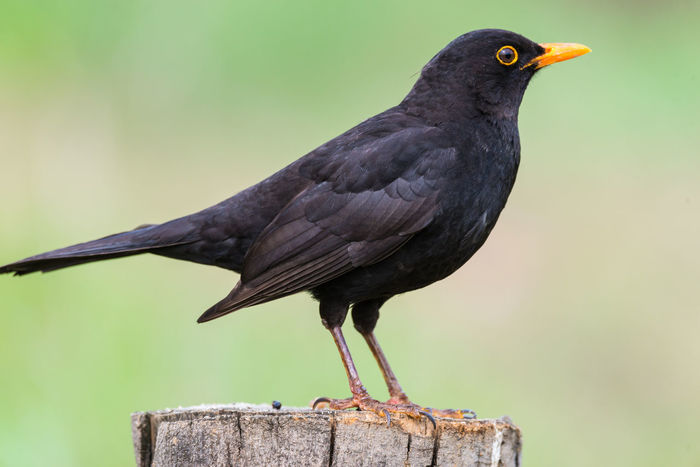 Close up portrait of male turdus merula or mirlo Animal Themes Animal Wildlife Animals In The Wild Bird Birdingphotography Black Blackbird Blackbirds Close-up Day Focus On Foreground Mirlo Nature Negro No People One Animal Outdoors Perched Perching Turdus Merula