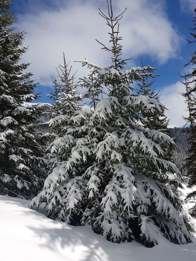 Beauty In Nature Cloud - Sky Cold Temperature Coniferous Tree Covering Day Fir Tree Frozen Nature No People Non-urban Scene Pine Tree Plant Scenics - Nature Sky Snow Snowcapped Mountain Tranquil Scene Tranquility Tree White Color Winter
