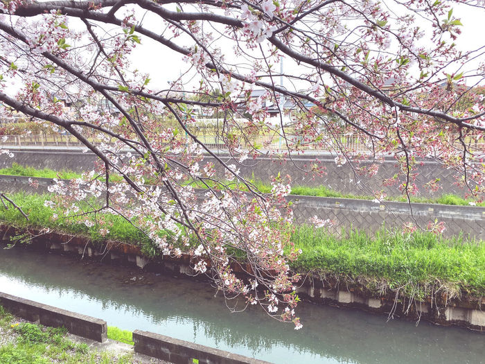 View of cherry blossom by river