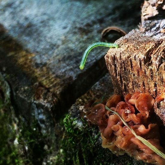 Suicidal Inchworm