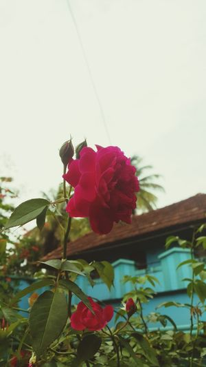 Full of love Flower roses Rose🌹 Bueaty Love Red Nice View