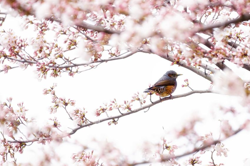Capture The Moment Uzukiの桜 Depth Of Field Perching Bird Sakura Springtime Beauty In Nature One Animal Animal Wildlife Pink Color Nature Uzuki Of The Flower Fantasy Fine Art Still Life Animals Tranquil Scene Snapshots Of Life The Secret Spaces Fragility Full Frame Detail Sigma EyeEm Best Shots 17_04