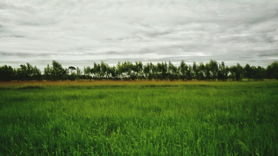 Green Color Tree Nature Field Farm Rural Scene Cloud - Sky Cereal Plant Beauty In Nature Sky Outdoors Grass Day Scenics Landscape Agriculture No People