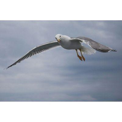 Scalamarion Thasos Thassos Greece Gtcompany Canon Seabirds Thassosisland Birds