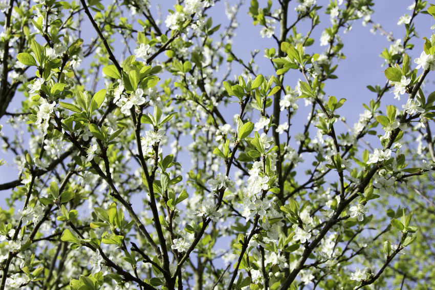 Beauty In Nature Blooming Blossoms  Branch Close-up Day Flower Freshness Green Color Growth Low Angle View Nature No People Outdoors Sky SP Spring 2016 Spring Time 🌻 Tree