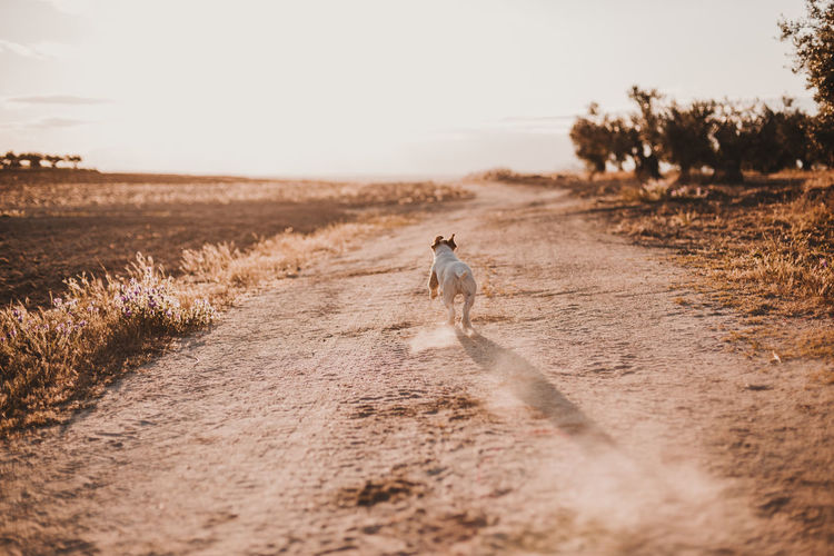 Rear view of dog running on dirt road