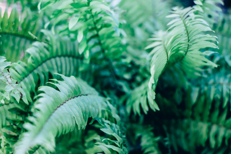 Fill The Frame Gardening Backgrounds Beauty In Nature Close-up Evergreen Fern Foliage Fragility Freshness Green Color Growth Healthy Leaf Lush Nature Plant Selective Focus The Week On EyeEm Springtime Decadence