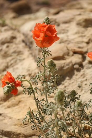 desert flowers EyeEm Selects Flower Flower Head Poppy Red Desert Arid Climate Uncultivated Close-up Plant Landscape