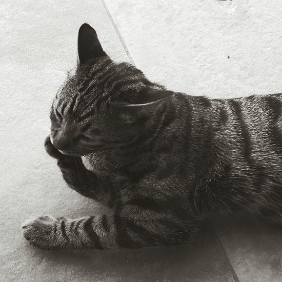 Shades Of Grey Cat Portrait of sweetness! Anaimal Portait B&W Portrait Portaits