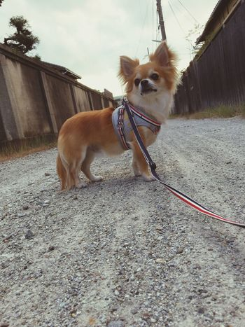Domestic Animals Mammal Animal Themes Pets Dog One Animal Pet Leash Dog Lead Day Outdoors Pet Collar No People Standing Nature Sky Niko Chihuahua Family