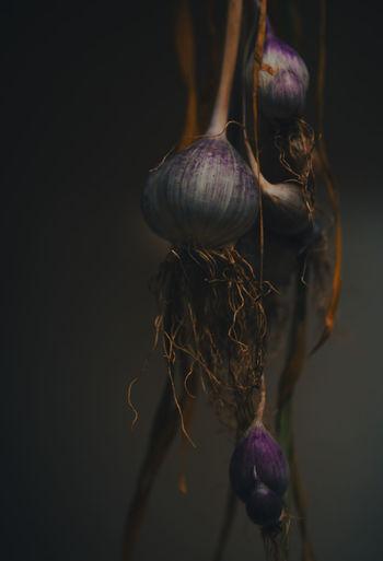 Close-up of purple garlic clove  against black background