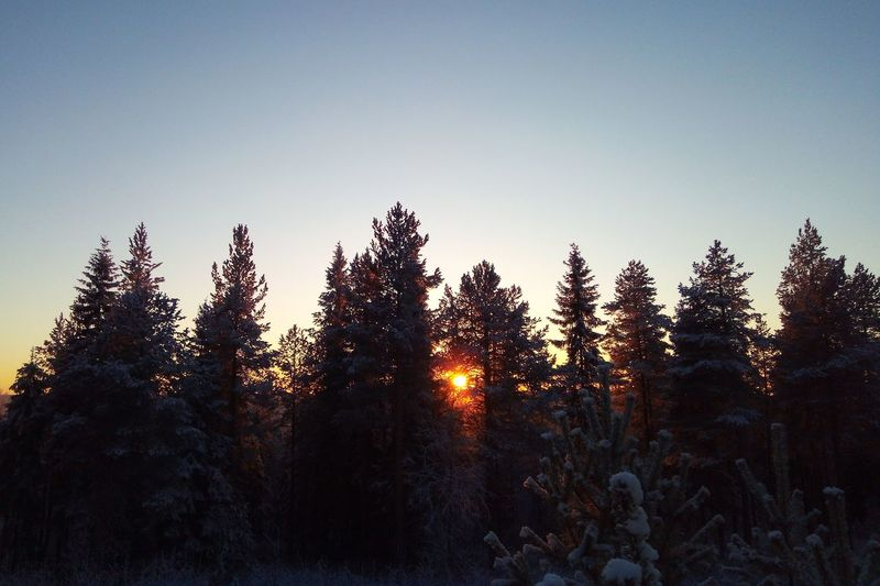 Pine forest sunset Nature Nature_collection Nature Photography EyeEm Best Shots EyeEm Nature Lover Freezing Cold Temperature Snow Tree Silhouette Forest Pine Tree Pinaceae Sky Streaming Sunset Pine Woodland Shining Tranquil Scene Sun Treetop Foggy Sunbeam Countryside