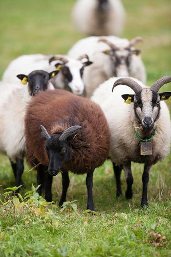 Sheep standing on grassy field